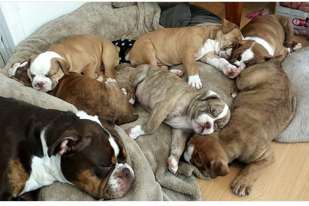 1024px-Olde_English_Bulldogges_puppies